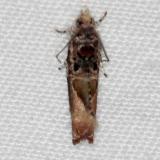2704 Cacocharis cymotoma Bader's house Palm Coast Fl 3-21-15