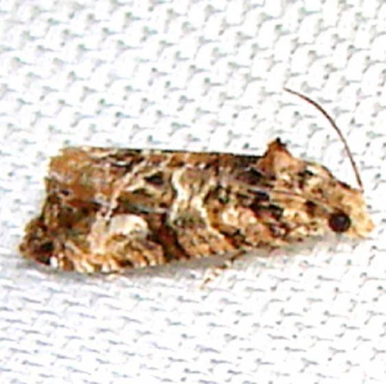 2727.97 Unidentified Paralobesia Moth Payne's Prairie St Pk 3-22-12