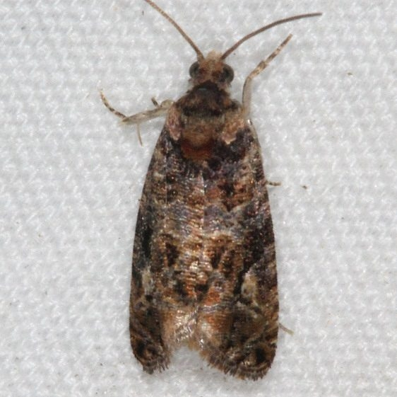 2727.97 Unidentified Paralobesia Moth yard 5-25-15
