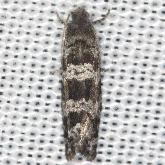 2745 Spruce Needleminer Moth yard 6-10-13