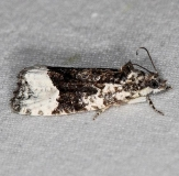 2755 Funereal Apotomis Moth Lake of the Woods Ontario 7-20-16 (186a)_opt