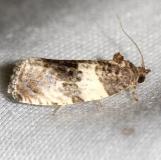 2769 Poplar Leafroller Moth Thunder Lake UP Mich 6-25-12