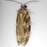2771 Macrame Moth Shawnee St Pk Oh 6-15-13