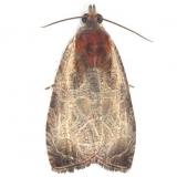 2788 Inornate Olethreutes Moth Battelle Darby Pk Ancient Trail Oh 7-25-13