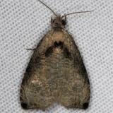 2791 Wretched Olethreutes Moth yard 6-7-14