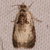 2820 Malana Leafroller Moth yard 6-11-12