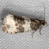 2848 Divide Olethreutes Moth Thunder Lake UP Mich 6-25-13
