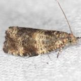 2859 Celypha Moth Celypha cespitana yard 5-30-13