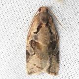 2859.97 Olethreutes spp Alexander Springs Ocala Natl Forest 3-18-13