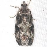 2859.97 Unidentified Olethreutes Moth BG Lake of the Woods Ontario 7-24-16
