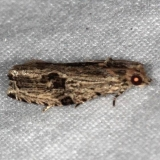 2865 Tsinilla lineana Collier-Seminole St Pk 3-5-15