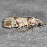 2868 Pitch Pine Tip Moth Silver Lake Cypress Glenn Fla 3-19-15