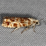2892 Northern Pitch Twig Moth Thunder Lake Mich UP 6-24-13