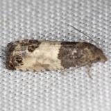 2906 Eye-spotted Bud Moth yard 6-8-13