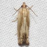 2916 Beautiful Phaneta Moth yard 5-27-12