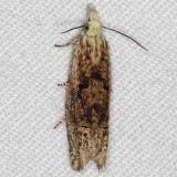 2927 Pale-headed Phaneta Moth yard 8-3-16