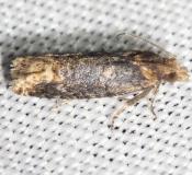2929 Buff-tipped Phaneta Moth yard 9-2-12