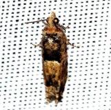 3007.97 Unidentified Phaneta Moth Lake Kissimmee St Pk Fla 2-26-13