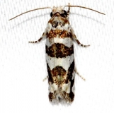 3009 Robinson's Eucosma Moth Kissimmee Prairie St Pk Fl 3-17-13