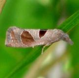 3116 Triangle-backed Eucosma Moth Estelle Wenrick Preserve Oh 9-19-14