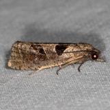 3116 Triangle-backed Eucosma Moth yard 10-11-16 (2)_opt