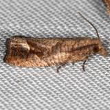 3120 Derelict Eucosma Moth yard 8-23-16