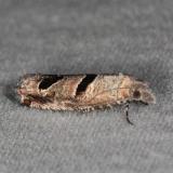 3132.3 Eucosma floridensis Oscar Scherer St Pk 3-13-15