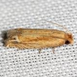 3142 Solidaga Eucosma Moth yard 8-13-12
