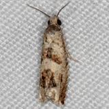 3148.97 Unidentified Eucosma Moth yard 7-20-14
