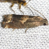3172 Ragweed Borer Moth yard 6-19-12