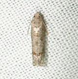 3176 Presumed Epiblema Moth tentative Faver Dykes St Pk Fla 3-2-11