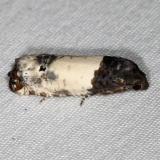 3186 Goldenrod Gall Moth yard 6-30-16