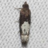 3186 Goldenrod Gall Moth yard 8-22-12