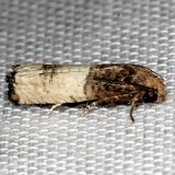 3190 Epiblema desertana Kissimmee Prairie St Pk 3-16-13