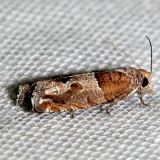 3218 Constricted Sonia Moth Lake Kissimmee St Pk Fl 2-26-13