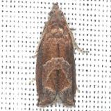 3219 Canadian Sonia Moth yard 7-14-13