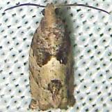 3229.2 European Poplar Shoot Borer Moth Kissimmee Prairie St Pk Fla 3-8-12