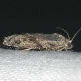 3230 Maple Twig Borer Moth yard 7-14-13