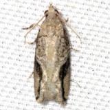 3233 Northern Boxelder Twig Borer Moth yard 5-25-12