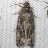 3235 Maple Bud Borer Moth Thunder Lk UP Mich 6-21-14