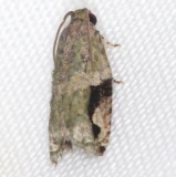 3237.97 Unidentified Proteoteras Moth NABA Gardens Texas 11-1-16 (2)_opt