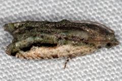 3237.97 Unidentified Proteoteras Moth NABA Gardens Texas 11-1-16 (3)_opt