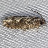3246 Shagbark Hickory Leafroller Moth yard 5-2-13