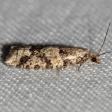 3269 Red-striped Needleworm Moth Thunder Lake UP Mich 10-3-12