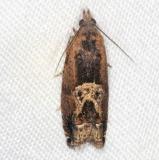 3274 Cotton Tipworm Moth Collier-Seminole St Pk 3-4-15