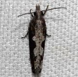 3296 Epinotia albicapitana Kissimmee Prairie St Pk Fla 3-17-13