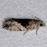 3306 Poplar Branchlet Borer Moth Thunder Lake UP Mich 9-27-15