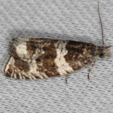 3308 Epinotia albangulana maybe Thunder Lake Mich UP 6-25-13
