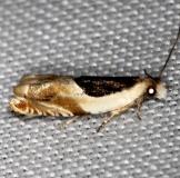3358 Yellow Birch Leaffolder Moth Thunder Lake Mich UP 6-24-13