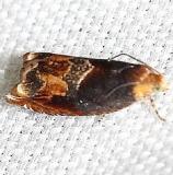 3377 Red-headed Ancylis Moth yard 8-12-12